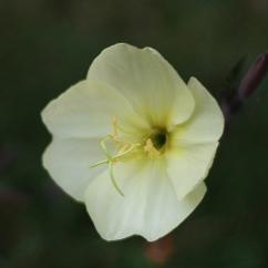 Nachtkerze (Oenothera sulphurea)