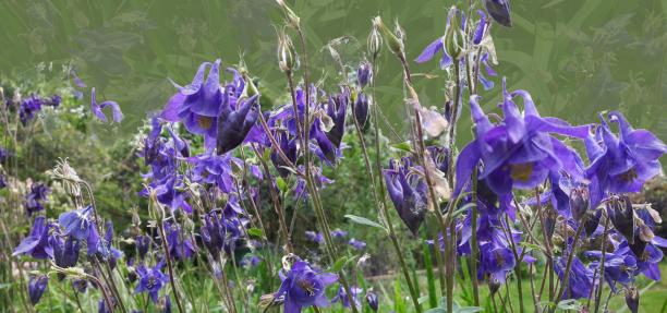 Akelei violett und grün