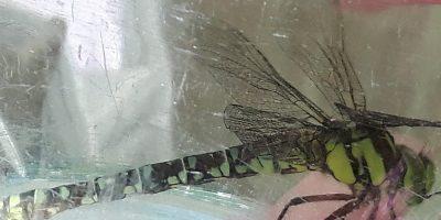 Libelle in der Salatschüssel
