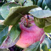 Apfel im Laub