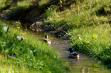 Enten auf dem neuen Bachlauf