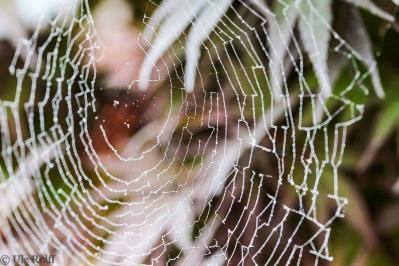 spinnennetz im blutahorn