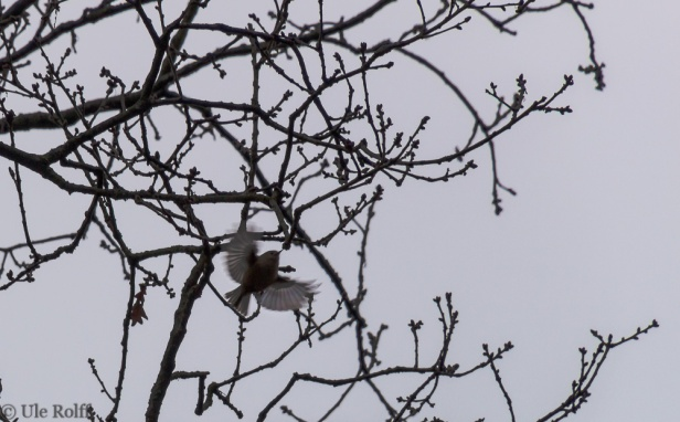 flatternder Vogel