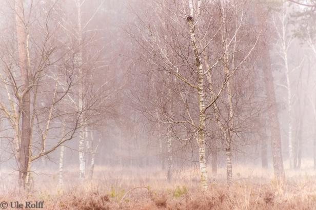 Vernebelte Birken in der Heide