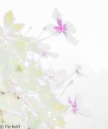 Clematisblüten in Highkey-Entwicklung