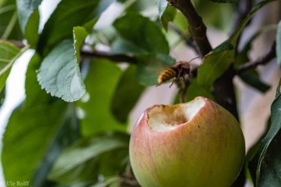 Hornisse im Anflug auf Apfel