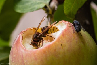 Hornisse mit Fliege