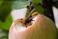 Hornisse auf Apfel