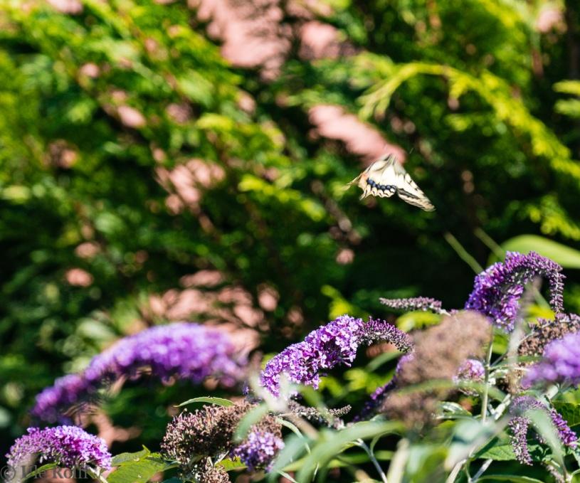 Fliegender Schwalbenschwanz