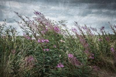 Weidenröschen über dem Hammersee
