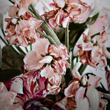 _MG_0174 Blütenfall Levkojen 1