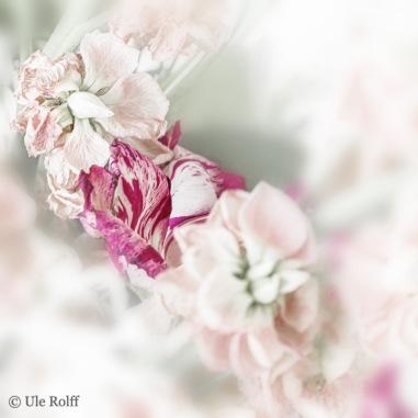 _MG_0177 Blütenfall mit Tango 1
